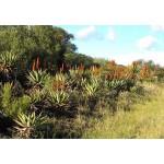 Αναπλαστικό Τζελ Άγριας Αλόης 'Aloe Ferox' (100ml) Martera
