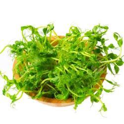 Σπόροι Αρακά για Φύτρα (250γρ) Βiosophy