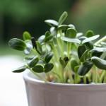 Σπόροι Ηλίανθου (Ηλιόσπορος) για Φύτρα (250γρ) Βiosophy