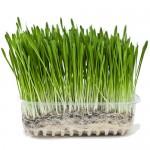 Σπόροι Κριθαριού για Φύτρα (1kg) Βiosophy