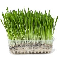 Σπόροι Κριθαριού για Φύτρα (500γρ) Βiosophy