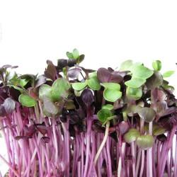 Σπόροι Κόκκινου Ρεπανιού για Φύτρα (100γρ) Βiosophy