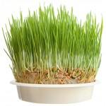 Σπόροι Σιταριού για Φύτρα (1kg) Βiosophy