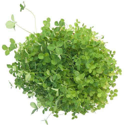 Σπόροι Τριφυλλιού για Φύτρα (200γρ) Βiosophy