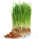 Σπόροι Ντίνκελ/Σπέλτ για Φύτρα (500γρ) Βiosophy