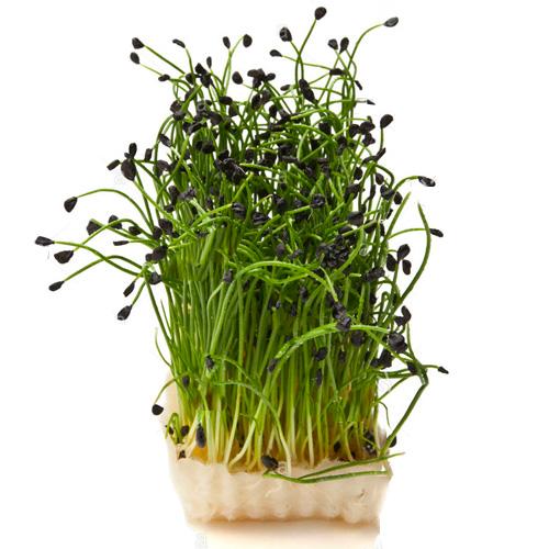 Σπόροι Σκόρδου για Φύτρα (30γρ) Βiosophy