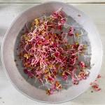 Σπόροι Κόκκινου Λάχανου για Φύτρα (500γρ) Βiosophy